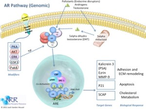 AR Genomic Signaling
