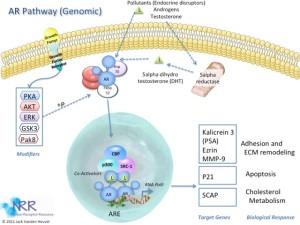 AR Genomic Signaling