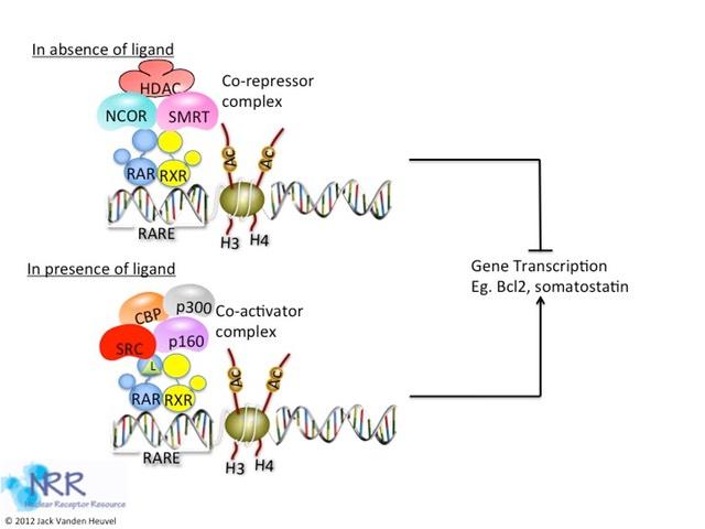 RAR gene expression
