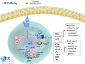 lxr-pathway