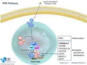 pxr-pathway